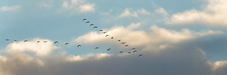 Flight of geese in winter