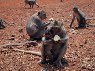 Monkey with baby eating corn