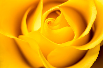 Yellow Rose. Yellow rose petals closeup.
