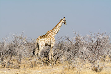 Giraffes in Acazia Field