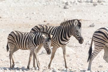 zebra with kitten in Etosha National Park, Namibia