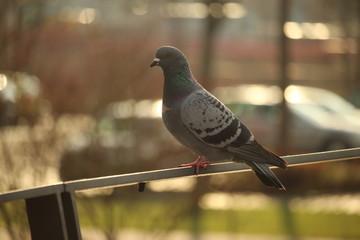 Eine Taube auf einem Brückengeländer in Eichstätt-Altmühltal