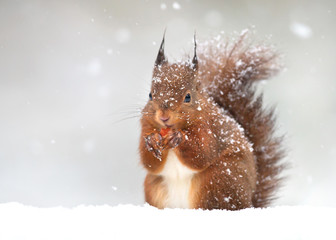Cute red squirrel in the falling snow, winter in England