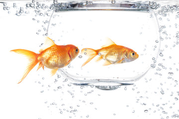 Two goldfish on a white background