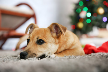 Small cute funny dog laying at carpet with Santa hat on Christmas tree background