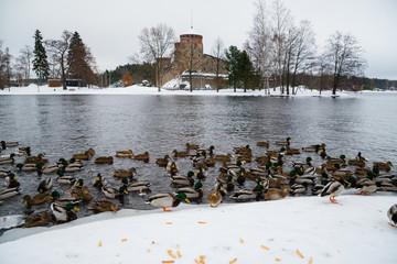 Duks in front of Olavinlina castle in Finland.