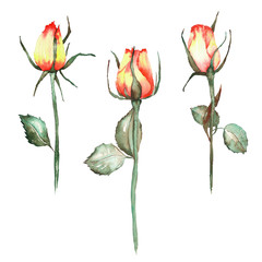 An illustration with an isolated three beautiful watercolor red and yellow roses painted on a white background