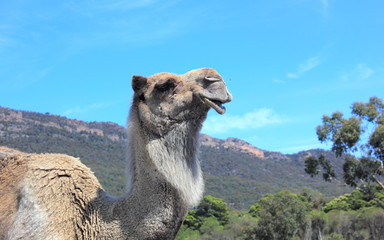 Profile portrait of camel in australian bushland