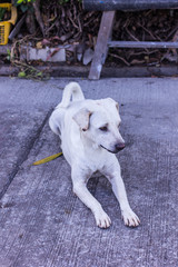 thai white stray dog