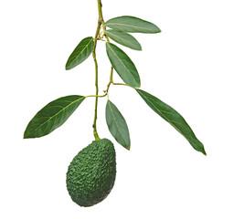 Branch of avocado