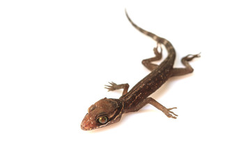 Gecko lizard isolated on white