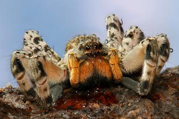 Creapy tarantula with water drops