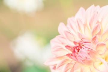 ピンクのダリア
