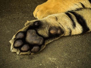 foot of Siberian Tiger