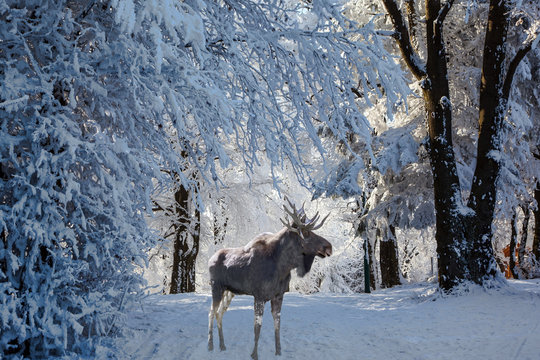 Magnificent Moose went for walk