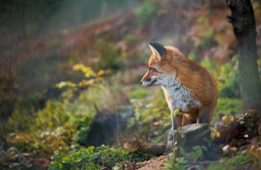 A red fox listening to something