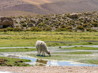 Lama in the Andes
