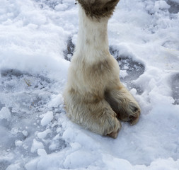 Camels Foot on Snow