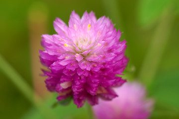 Close up of Globe Amaranth or Bachelor Button flower. (Gomphrena