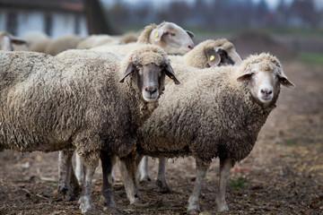 Sheep herd on the farm