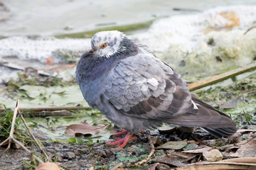 Pigeon with White Head