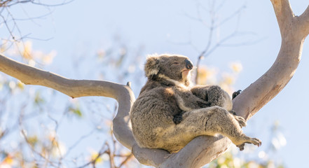 Koala family on a bare tree