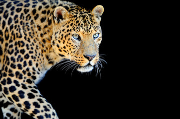 Leopard portrait on dark background