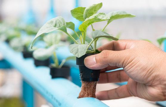 vegetables hydroponics farm