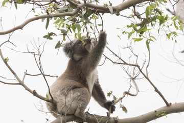 Koala picking eucalyptus leaves to eat
