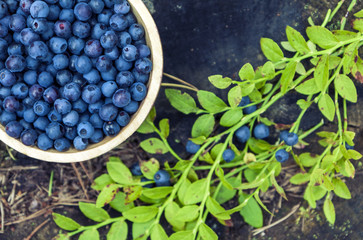 Wooden bowl of picked blueberries and green branch of blueberries lying on natural forest background