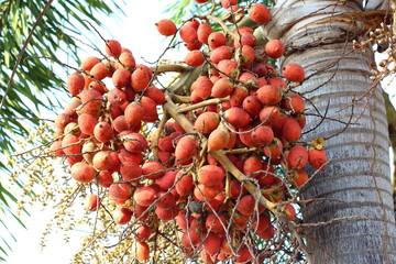 Palm fruit in Thailand