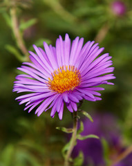 lilac flower aster