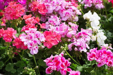 Bed with the multi-colored blossoming geranium