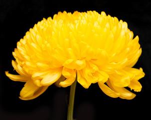 yellow chrysanthemum on a black background