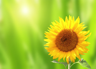 Wall Mural - Bright yellow sunflower on green background