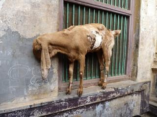 goat at the window parapet