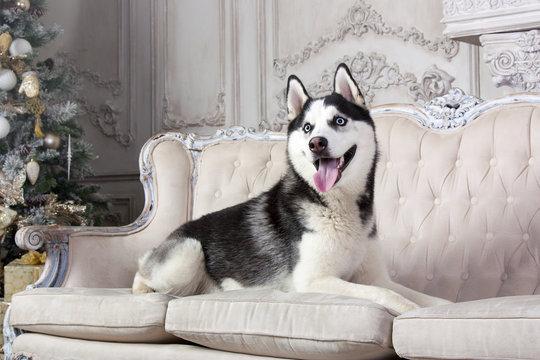 Хаски на диване
