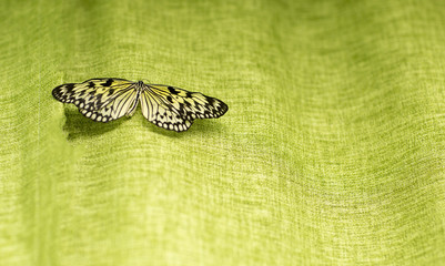 Portrait of live butterflies. Black and yellow butterfly on a green background.