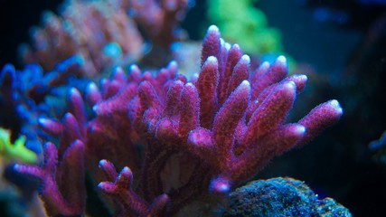 SPS coral in maarine aquarium