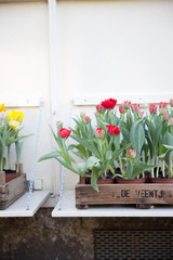 Red and yellow Tulips in a wooden crate
