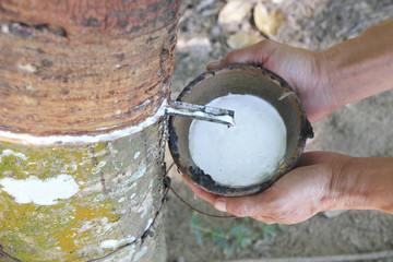 Milky latex extracted from rubber tree