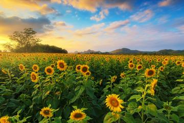 Fotobehang Zonnebloem Sunflower field with sunshine
