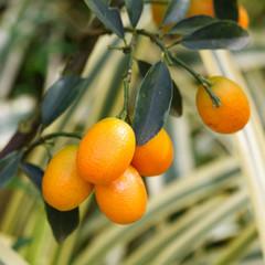 Orange kumquat on the tree