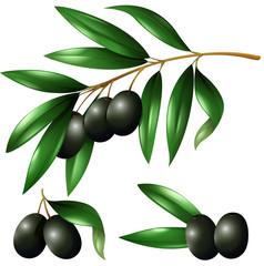 Black olives on the branch