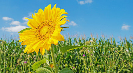 Sunflower in a field in summer