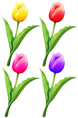Tulip in four colors