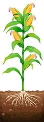 Corn on the tree