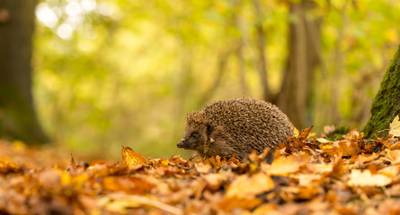 A young cute hedgehog walking through the forest on an autumn day
