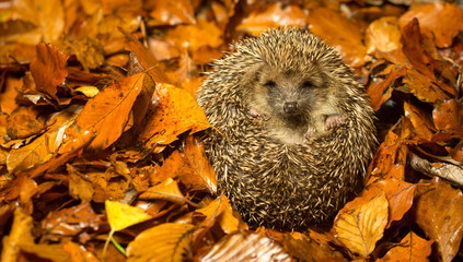 A young cute hedgehog curled up in autumn leaves
