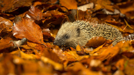 A young cute hedgehog walking through the woodland autumn leaves